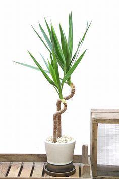 ユッカ| 観葉植物の通信販売 | APEGO【アペーゴ】大きな葉と存在感のある幹が特徴のユッカ。性質はとても健常で育てやすい観葉植物です。葉が大きいので存在感があり、お部屋のメイングリーンになる観葉植物です。 長い時間けて成長し、葉を伸ばしていくので成長が楽しみな植物です。  ■ユッカはとにかく丈夫で育てやすく、人気の観葉植物です。そのボリュームのある樹形から、開店、開業、新築などの各種お祝いに大人気の観葉植物です。お祝いの観葉植物を迷われている方には是非おすすめです!!