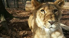 Liberty the lioness    www.Noahs-Ark.org