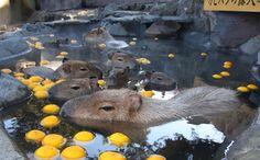伊豆シャボテン公園では、2014年12月20日~2015年1月4日まで「カピバラのゆず湯」を開催いたします。名物イベント「元祖カピバラの露天風呂」が12月22日の冬至に合わせて「ゆず湯」に変わります。 #shaboten