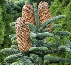 Abies alba Mill.-the picture, silver fir cones (rodz.sosnowate) ...