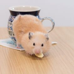「あらよっと」 リンゴくわえてマグから出てきたw * #ナッパ#nappa#ゴールデンハムスター#ハムスター#キンクマ#小動物#かわいい#家族#ふわもこ部#癒し#boy#instacute#instapet#family#goldenhamster#syrianhamster#hamster#hammy#happy_pets#pets_plaza#petscorner#pet#bestanimal#animal#adorable#awww#love#socute#cute#followme