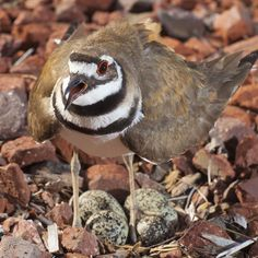 Talk about an angry bird. Never photograph a killdeer on it's nest....or at least bring hearing protection. #birds #wildlife #wildlifephotography #GuyJSagiphotography #strobist #strobistphotography