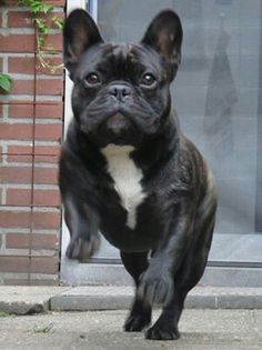 French Bulldog, via the dailyfrenchie.