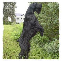 The Giant Schnauzer was popular as a military dog during World War I and World War II.