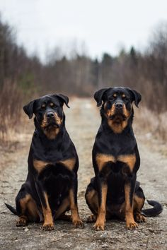 """Acquire fantastic pointers on """"rottweiler pups"""". They are on call for you on our website. Rottweiler Training, Rottweiler Puppies, Cute Puppies, Dogs And Puppies, Cute Dogs, Chihuahua Dogs, Doggies, Best Dog Breeds, Best Dogs"""