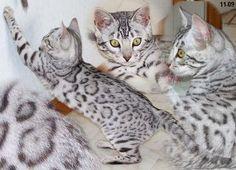 Bengal cat. So beautiful!