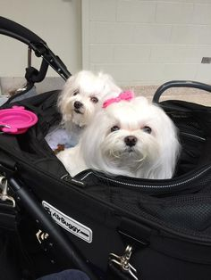 Sweet little ladies #maltese
