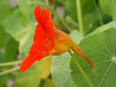 """Flowers that aren't poisenous to cats: Tropaeolum """"Kapuzinerkresse"""" Cat Entertainment, Seed Packets, Tea Tree Oil, Kraut, Beautiful Flowers, Seeds, Healthy Recipes, Vegetables, Wikimedia Commons"""