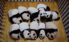 Baby pandas in playpen :)