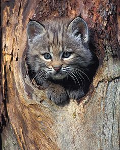 Although this little guy looks just like a regular house kitty he will weigh as much as 40 pounds and be almost two feet tall when he's full grown. Bobcats are distinguished from most domestic cats by the tufts on their ears as well as their size.