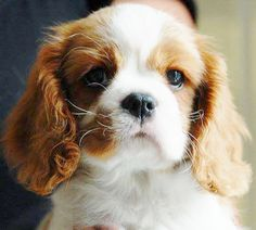 ♥  We have a Cavalier who is Black/Tan/Red/White and absolutely love him. They are wonderful dogs.