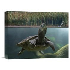Global Gallery Turtle Breathing at Surface Jurong Bird Park Singapore Wall Art, Brown