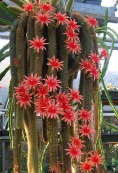 Plantas ornamentais: Cacto rabo de macaco