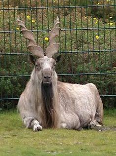 Markhor Mountain Goat