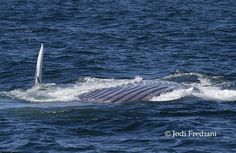Endangered mammal:  Blue whale gathering off Monterey nothing short of spectacular  from Grind TV
