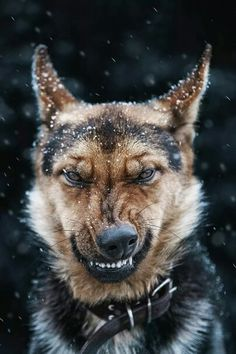 DONT MAKE A GERMAN SHEPHERD MAD YOU WERE WARNED