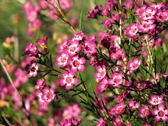 Common Name: Geraldton Wax, Wax Flower Species: Chamelaucium uncinatum 'Purple Pride' Family: MYRTACEAE