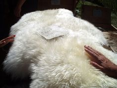 Tanning sheepskin is a relatively easy process. With the right materials and a little patience, tanning can become a rewarding hobby or a lucrative vocation. This article will provide all the . Tanning Hides, How To Tan, Deer Hide, Leather Company, Living Off The Land, Curtido, Tan Skin, Leather Working, Farm Animals