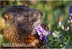 Visitors often flock to #yellowstone in search for the most common wildlife; elk bear bison bighorn sheep and wolves. I always find it a treasure to track down some of the smaller critters. Here's a yellow bellied marmot with some beautiful spring flowers. What's your favorite small critter? . . . #nature #naturephotography #natgeo #natgeotravel #nature_brilliance #naturelovers #marmot #purple #flowers #spring #utahphotographer #yellowstonenationalpark #wildlifephotography #wildlifeaddicts…