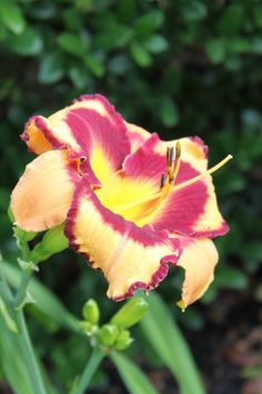Daylily Love is Deep by Elizabeth Barrow, via Flickr