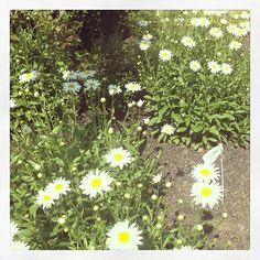 Such a beautiful daisy garden!!