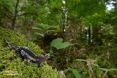 https://flic.kr/p/ZWb64n | Aurora's Alpine Salamander | Salamandra atra aurorae - Salamandra di Aurora, Aurora's Alpine Salamander  Italy