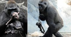 #Mother #Gorilla's #Baby Died, What She Did Next Will Make You Cry