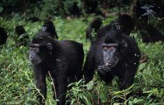 Juvenile #Sulawesi black #macaques (Macaca nigra) foraging in the Tangkoko Nature Reserve