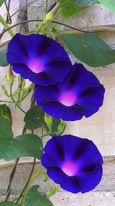 the common morning-glory Summer Flowers, Wild Flowers, Exotic Flowers, Beautiful Flowers, Morning Glory Flowers, Morning Glory Vine, Perennials, Planting Flowers, Bouquet