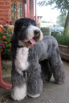 old english sheepdog teddy bear cut | ... Techniques » OTHER PUREBRED DOGS »Old English Sheepdog Styles & Pics