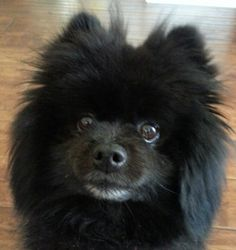Cutest Pomeranian!