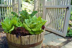 Container Garden: lettuces   Flickr - Photo Sharing!   jardin potager