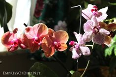 Orchids for beginners: moth orchids do best with indirect sunlight