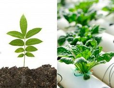 Differences Between Soil and Hydroponic Growing