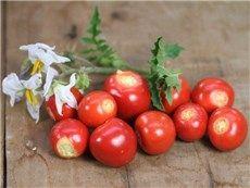 Litchi Tomato or Morelle De Balbis