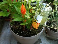 Create your own DIY self-watering planter by poking a hole in a bottle cap or cork and turning the bottle upside-down into the soil. Good idea for forgetful gardeners or as a way to water the plants while you're away.