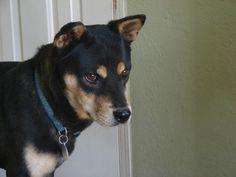 Meet Jessy James a Petfinder adoptable Shiba Inu Dog Jessy James, Shibu Inu, Prescott Valley, Australian Cattle Dog, Shiba, Cute Puppies, Husky, Meet, Future