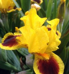IRIS: Iris is a genus of between 200–300 species of flowering plants with showy flowers. It takes its name from the Greek word for a rainbow, referring to the wide variety of flower colors found among