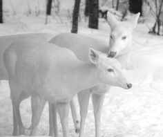 White deer in the snow!