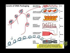 ▶ Video 5: DNA Packaging and Chromosomes - YouTube