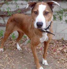 Meet Merlin A Petfinder Adoptable Beagle Dog Parkersburg Wv