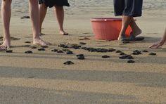 Baby Sea Turtles at Playa Viva