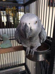 LOST AFRICAN GREY: 17/05/2016 - Poole, Dorset, England, United Kingdom. Ref#: L24477 - #ParrotAlert #LostBird #LostParrot #MissingBird #MissingParrot #LostAfricanGrey #MissingAfricanGrey