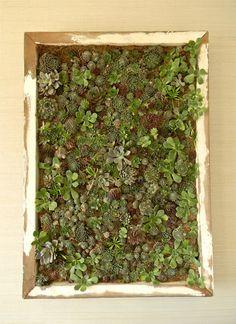 Cool living artwork...framed succulents