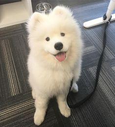 #tbt how can I make you happier my dear hooman . . . . #samoyed #samoyedpuppy #sammy #samoyedsofinstagram #samoyedoftheday #samoyedcute_insta #feature_my_samoyed #samoyed_feature #samoyedmoments #puppy #puppyoftheday #puppyofinstagram #puppystagram #puppygram #cutepuppy #dog #dogoftheday #dogofinstagram #dogstagram #doggram #cutedog #cute #cuteoverload #cutenessoverload #cuteness #fluffy