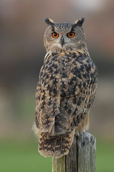 Eagle Owl- held one named Beethoven in Scotland!
