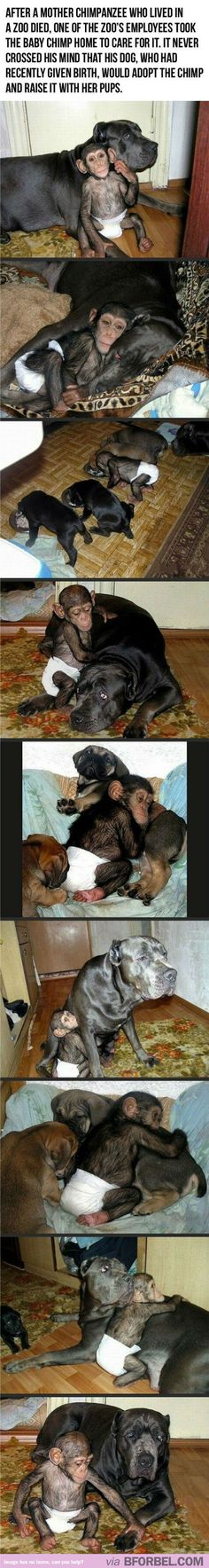 Chimpanzee Gets Adopted By A Mother Dog… The Jolie Of The Animal World.