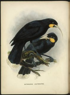 """Scientists want to bring 22 animals back from extinction (It is so sad how many animals are extinct because of humans. These Huia """"went extinct in the century because of hunting to make specimens for museums and private collectors."""" What a waste! Bird Illustration, Botanical Illustration, Botanical Prints, Illustrations, Bird People, Rainforest Animals, Nz Art, Extinct Animals, Bird Sculpture"""