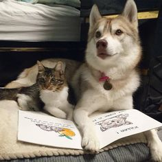 ハスキーの養子となった子猫09