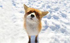 10 fotiek ako dôkaz, že líšky nemusia byť len falošné! Sú hlavne ROZTOMILÉ - Europa 2